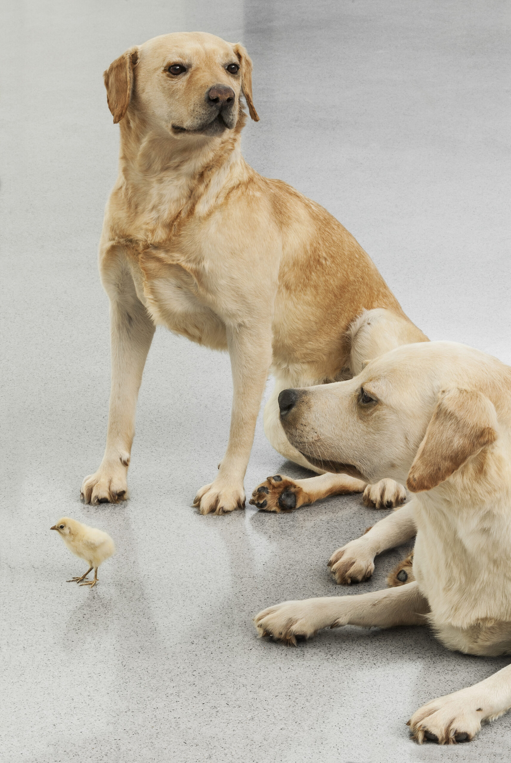 Maurizio Cattelan, Untitled, 2007 (detail) , Taxidermied labrador dogs, chick  Variable dimensions, Installation view, Kunsthaus Bregenz, 2008  Courtesy Maurizio Cattelan's Archive  Photo Zeno Zotti